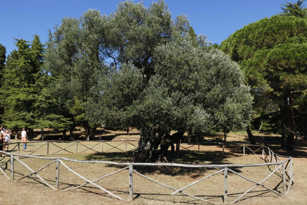 Not to be forgotten is the 1600 years old olive tree, one of the oldest trees in the whole mediterranean region.